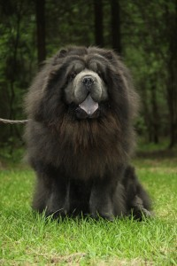 Black dog with long hair