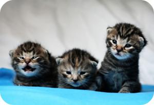 Three kittens with short hair
