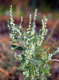 Sneezy Weeds - Lambs Quarters