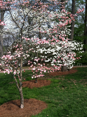 Flowering Dogwoods - NOT On The List, But Hey, They're Easy On The Eyes!