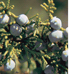 Juniper and Cedar Allergies