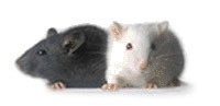 Mice, Peanut Allergies & Gut Bacteria - Probiotic Solution to Food Sensitivities?