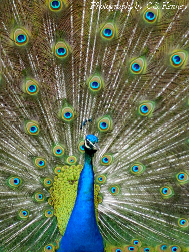 Peacocks - The Pinnacle of Bird Care and Grooming? Or Just Best of Show?