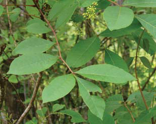 Poison Sumac - Least Common But Most Harmful