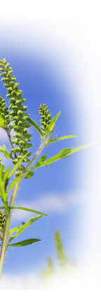 Ragweed Allergies FAQ on AchooAllergy.com