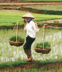 Traditional Rice Farming