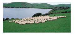 Lamb's Wool from New Zealand