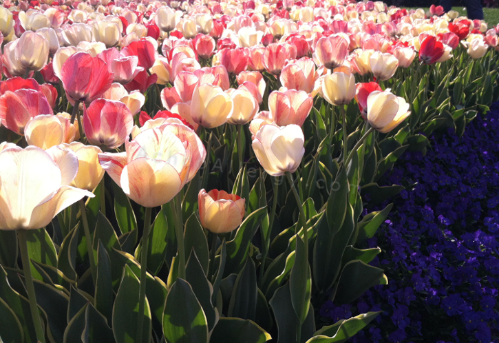 100,000 Tulips - Now in Bloom at Cheekwood Botanical Garden - Nashville, TN
