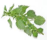 Treat Allergies with Herbs - Stinging Nettle