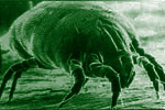 Common Household Dust Mite